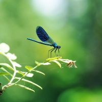 Calopteryx splendens by Justysiak