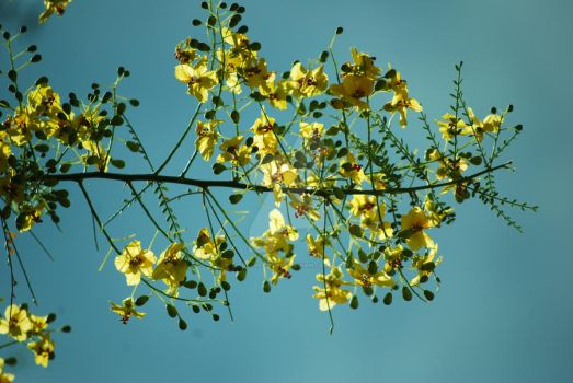 Green Paloverde blooms yellow by fireflyflashes