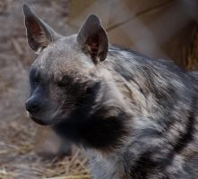 Hyena Stock 4 by HOTNStock