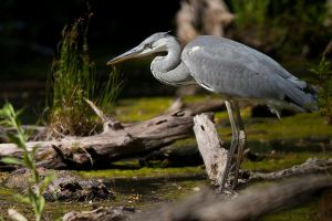 Great Blue Heron by JMrocek
