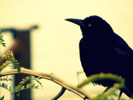 Quothe This Raven by CRBPhoto