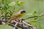 common yellow throat by griffspixs
