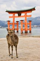 Miyajima Deer by Tim-Wilko