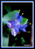 Tradescantia blue by Mado29