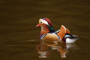 Waterfowl by Adam-F