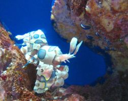Harlequin shrimp by James-Fong