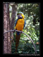 parrot on a ring by photorox33