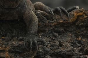Marine Iguana by Photo-Eyes