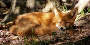 fox 2 by LeoNemaeus