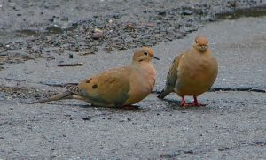 Mourning Doves April 25 2011 by seto2112