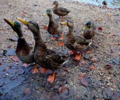 7 Ducks by SplitEnsds