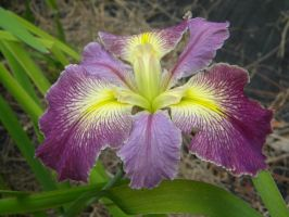 Louisiana Iris Hybrid Dirty Butler by TheLordTaxus