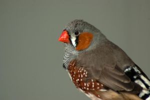 Red cheek little bird 1 by steppeland