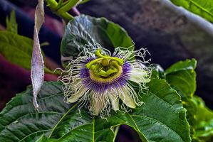 Passion fruit flower by gendosplace
