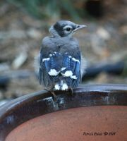 Baby Blue Jay 1 by PatriciaRodelaArtist