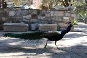 peacock by snaplilly