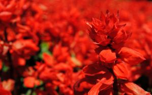 Field of red by fosspathei