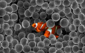 clown fish -black and white- by super-fudge