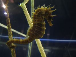 little sea horse by Tribolonotus