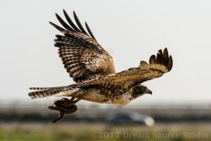 Juvenile Red Tailed Hawk by DyunPhoto