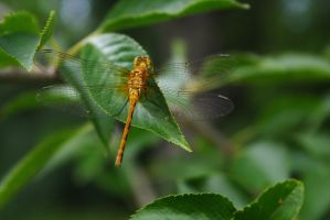 Dragonfly at Ease by wraamyth