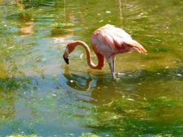 Flamingo 20 by Unseelie-Stock