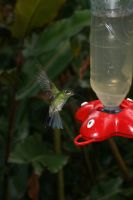 Hummingbird VI by RaeyenIrael-Stock