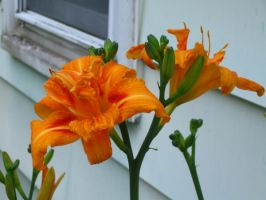 double daylily by crazygardener