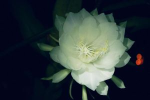 Night-blooming cereus by mitazu08