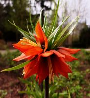 Crown imperial by Michawolf13