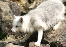 Arctic Fox I by Parides