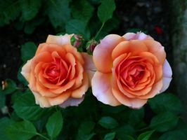 Roses in my garden by kanes