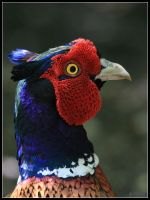 Pheasant Head by cycoze
