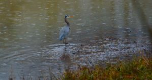Great Blue Heron by Neb-Storm