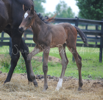 TB Foal Stock 2 by Synyster-Stock