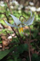 White Fawn Lily1 by owlbird