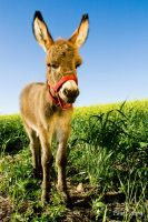 Niky The Baby Miniature Donkey by cutterp
