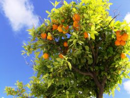 Orange Tree, Faro by AerysSketches