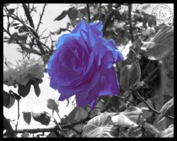 Blue Rose by DragoN-FX