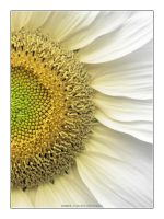 Sunflower II by bupo