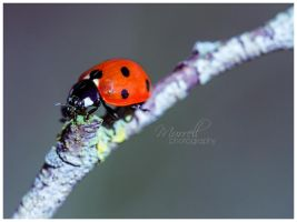 Ladybird by SianMurrell