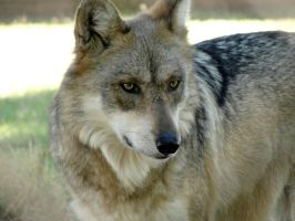 Nov1: Mexican Wolf 9 by FamilyCanidae
