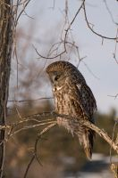 Great Gray Owl by Destined2see