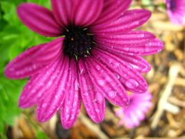 Flower in the Rain by Declan11