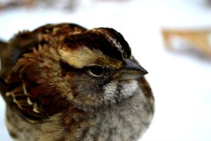 White Throated Sparrow by AmbitiousArtisan