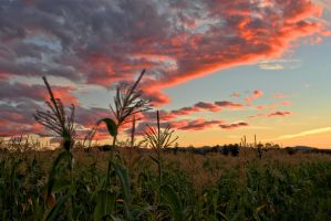 Corn and Clouds 3 by Polyrender