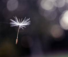 Flying dandelion.. by MateuszPisarski