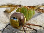 Nemo The Dragonfly by In-7hi5-7wi1igh7