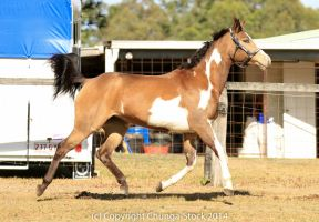 VR Pinto trot side view all legs off ground by Chunga-Stock