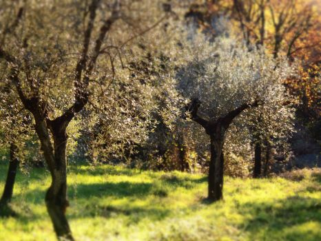 Olive trees by bellaricca